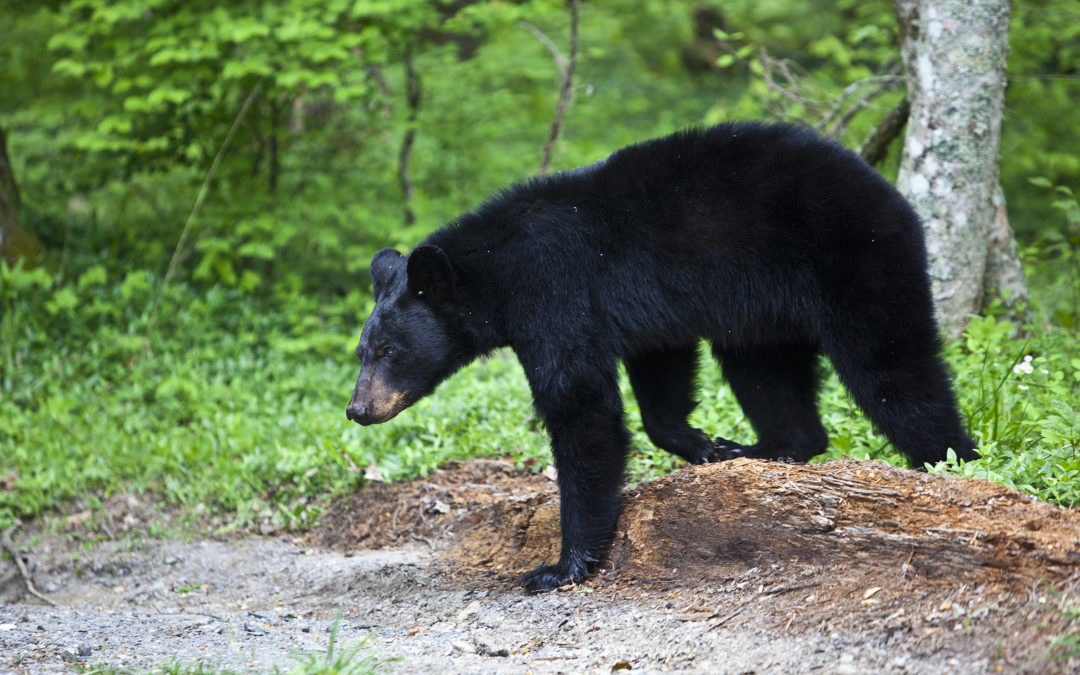Go on Our Gatlinburg Walking Tour and Hear the Story of Jeff the Bear
